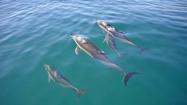 Dolphins swimming near Albufeira