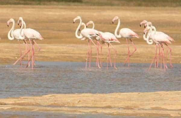 Flamingos in Salgados Lagoon