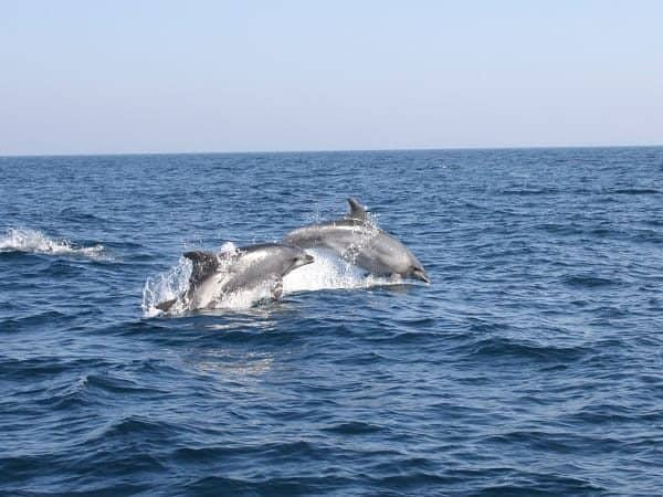 Two dolphins swimming and jumping from the water