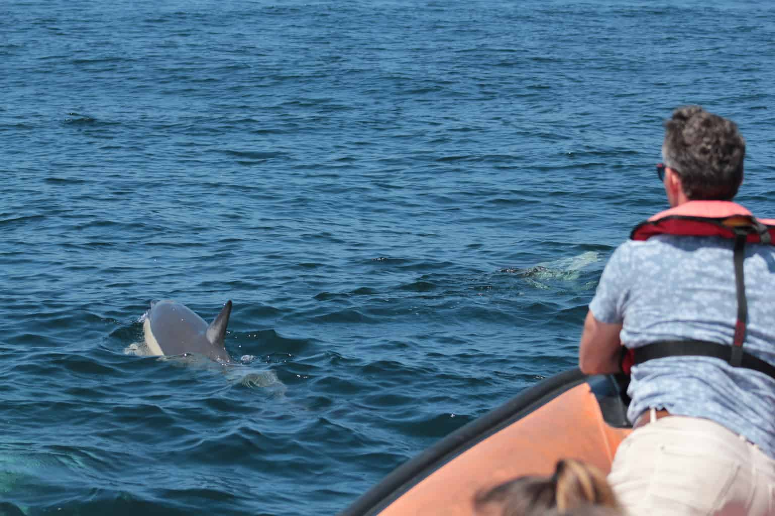 passengers watching dolphins from a RIB boat