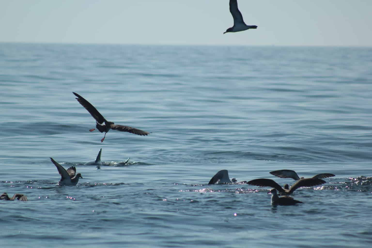 Group of seabirds feeding along with dolphins in the Algarve.